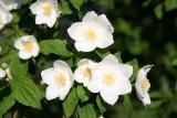Mock Orange Blossoms
