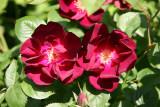 Velvet Red Roses