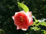 Peach Pink Rose