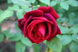 Velvet Red Rose