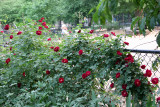 Red Rose Bush at the Dog Run