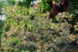 Smoke Tree in Bloom