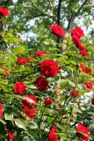 Saint Mark's Churchyard - Roses