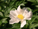 Garden - White Peony