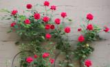 Sidewalk Garden - Roses