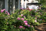 Rhododendrons at Washington Square Village Residence