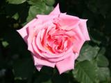 Fragrant Hour Roses