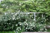 Trellis Roses