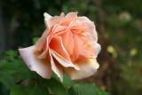 Apricot Cream Rose