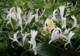 Honeysuckle or Lonicera Blossoms