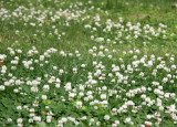 Clover Patch Flowers