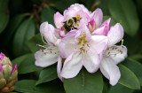 Bee in a Rhododendron Blossom