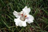 Catalpa Tree Blossom