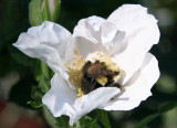 Bee in a White Rugosa Rose Blossom