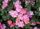 Lavender Dream Roses