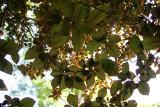 Prunus Tree Foliage