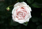 Blushing White Rose