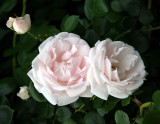 Blushing White Roses