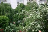 Garden View - Mock Orange Bush & Roses