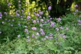 Garden View - Lunaria or Money Plant Blossoms