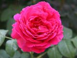 Empereur du Maroc Rose