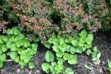 Violet & Pyracantha Foliage