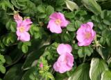 Rogosa Roses