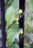 Morning Glory Flower Bud