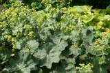 Ladies Mantle