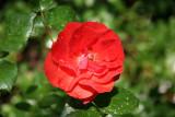 Brown Velvet Roses