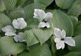 Hosta & Bishop's Weed or Aegopodium podograria