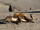 Sparrows Having a Crusty Bread Feast