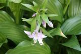 Hosta Blossoms
