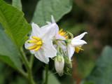 Possibly Jimson Weed - Genus Datura