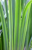Lousiana Iris Foliage