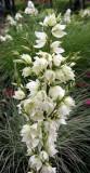 Yucca Plant Blossoms