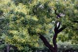 Golden Rain Tree in Bloom