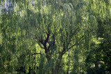 Garden View - Willow Tree