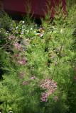 Garden View - Tamarisk Tree in Bloom