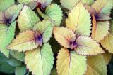 Coleus Foliage