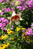 Lily, Phlox & Blackeyed Susans
