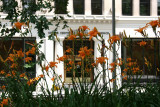 Day Lilies at Washington Square East