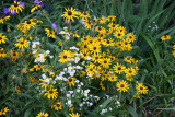 Blackeyed Susans & Cham