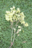 Lunaria annua or Money Plant