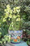 Lunaria annua or Money Plant