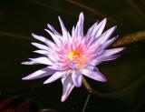 Conservatory Lily Pond