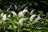 Lysimachia or Gooseneck Flowers