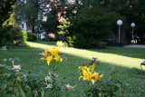 Garden View - Yellow Lilies