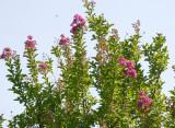 Crepe Myrtle Tree Blossoms