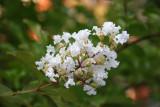 White Crepe Myrtle Blossoms